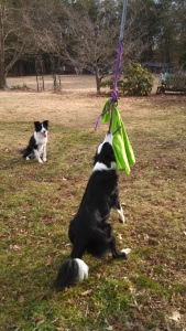 Jamie's Flyy & Gwen using their Hilbert Durable Dog Products spring pole!